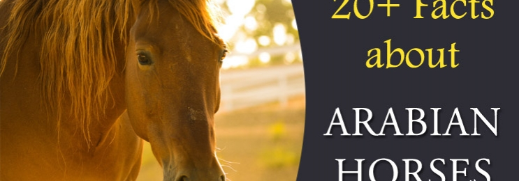 20+ Interesting Facts about Arabian Horses